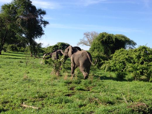 elefanti in tanzania